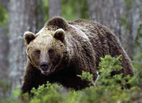 (Arkisto kuva) Kuvan karhu ei liity jutun tapaukseen!